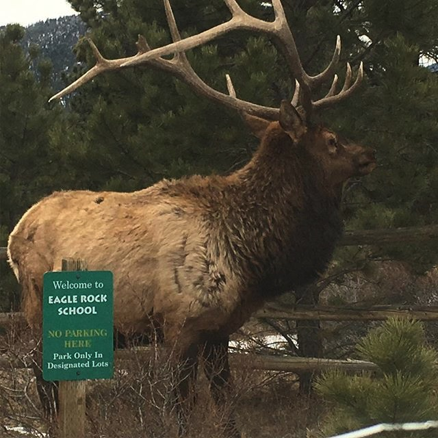 Eagle Rock School Elk Dec 2017